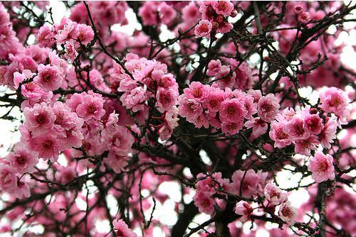 Flores Ninion