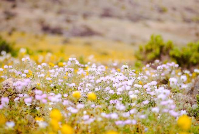 desierto florido 2017