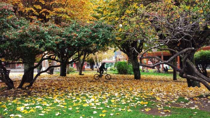 árbol abedul en otoño
