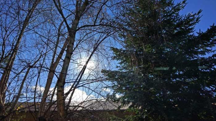pino en otoño