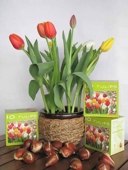 Tulipanes en tu jardín 1